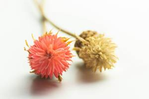Close-up of dried yellow and pink flowers