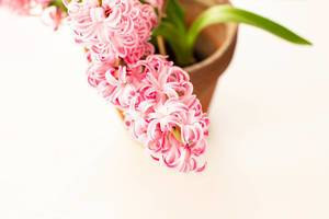 Close up of fresh pink hyacinth in a pot (Flip 2019)