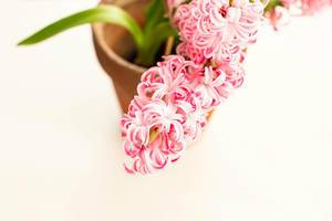Close up of fresh pink hyacinth in a pot