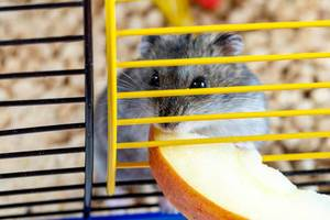 Close-up of grey hamster nibbling a piece of Apple in a cage (Flip 2019)
