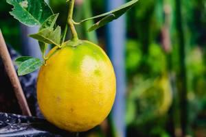 Close up of small ripe lemon (Flip 2019)