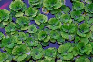 Close up of water lillies floating  (Flip 2019)