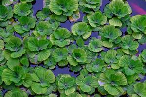 Close up of water lillies floating