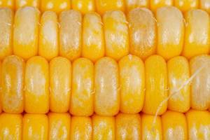 Close-up of young corn grains background