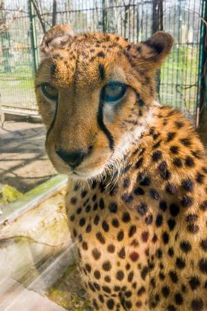 Close-up portrait shot of a cheetah at a zoo  Flip 2019