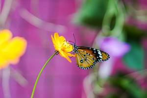 Close up shot of a monarch butterfly on a yellow flower (Flip 2019)