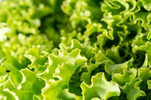Closeup of Fresh Green Lettuce Salad (Flip 2019)