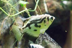 Clouded Archerfish (Toxotes blythii) at Shedd Aquarium