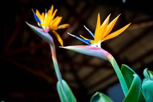 Colorful bird of paradise flowers  Flip 2019