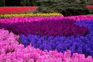 Colorful mix of flowers in Keukenhof garden in Amsterdam, The Nederlands