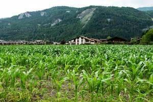 Corn plantation field in the Alps