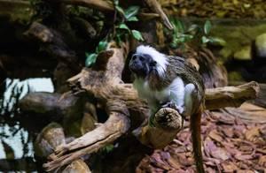 Cotton-top tamarin in Tropicarium Budapest