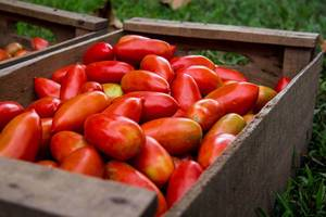 Crate Full of Tomatoes