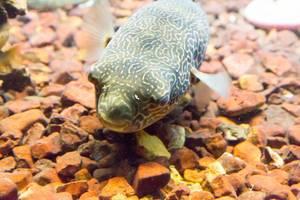 Cross River Puffer (Tetraodon pustulatus) at Shedd Aquarium