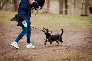 Dachshund  Playing Outdoors With Girl (Flip 2020)