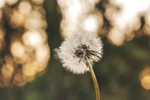 Dandelion on a blurred natural background
