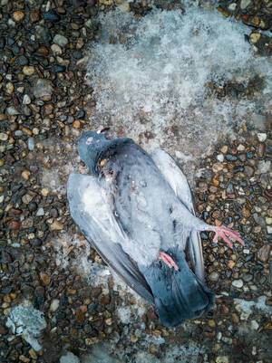 Dead pigeon on the ground in the winter time  Flip 2019