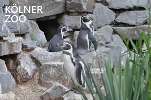 """Deri Pinguine stehen an der Felswand in ihrem Außengehege und beobachten die Umgebung, neben dem Bildtitel """"Kölner Zoo"""""""