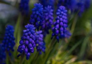 """Die dekorative Blume """"Armenische Traubenhyazinthe"""" in der Frühlingszeit"""