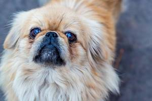 Dog breed Pekingese closeup