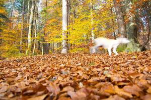 Dog running in the forest