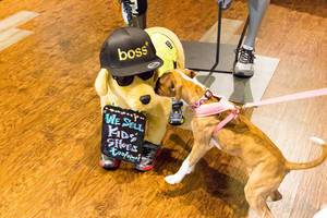 Dog sniffing on a stuffed toy dog with a Boss cap