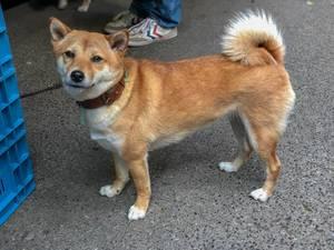 Doge Meme: Japanese Dog Breed Shiba Inu