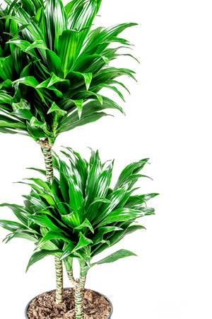 Dracaena plant on white background (Flip 2020)