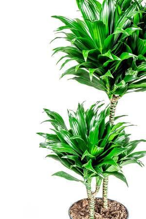 Dracaena plant on white background