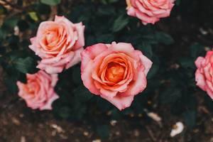 Draufsicht von rosafarbenen Rosen in einem botanischen Garten
