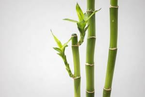 Drei Bambus Stämme mit Ausläufen auf weißem Hintergrund