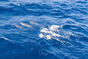 Drei Delphine unter der Wasseroberfläche