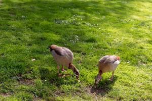 Ducks in a park in London
