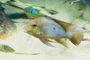 Eartheater cichild (Geophagus winemilleri) im Shedd Aquarium