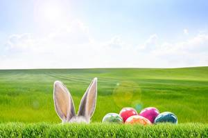 Easter time is close - Rabbit ears and eggs pop out of a green field