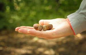 Eicheln in einer Hand