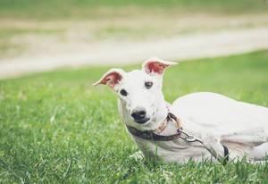 Ein Galgo Español Hund liegt im grünen Gras