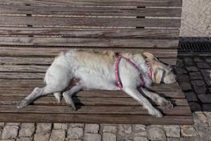 Ein Hund schläft auf einer Bank aus Holz