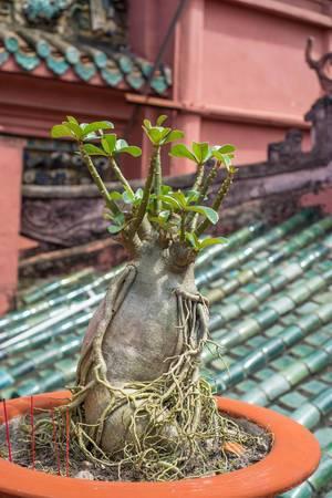 Ein junger Bonsai in einem Topf in einem lokalen Pagoda Tempel in Ho Chi Minh City