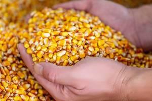 Ein Mann hält lose Maiskörner in den Händen