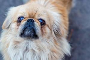 Ein Pekingneser Hund - Nahaufnahme