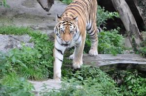 Ein Tiger im Kölner Zoo