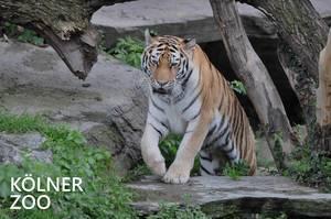"""Ein Tiger läuft durch sein Gehege und klettert auf einen Stein, neben dem Bildtitel """"Kölner Zoo"""""""