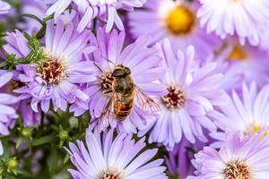 Eine Biene sammelt Nektar von einer lila Blume - eine Nahaufnahme