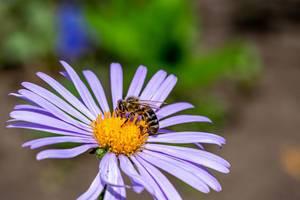 Eine Biene sammelt Nektar von einer Margerite - Sommerblume, im Garten