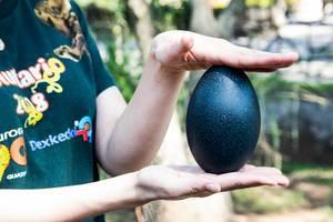 Eine Frau hält ein blaues Emu Ei in ihren Händen