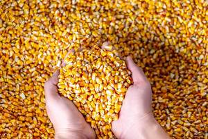 Eine handvoll Maiskörner