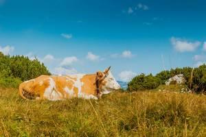 Eine Kuh liegt auf dem Gras