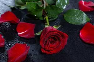 Eine rote Rose mit Wassertropfen auf schwarzem Hintergrund