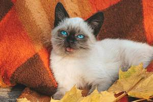 Eine schöne blauäugige junge Katze liegt auf einem roten Plaid unter Herbstahornblättern